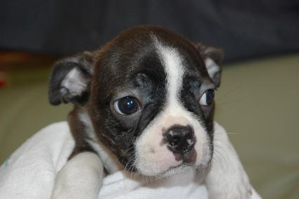 ボストンテリアの子犬の写真No.201108113