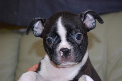 ボストンテリアの子犬の写真No.201108111