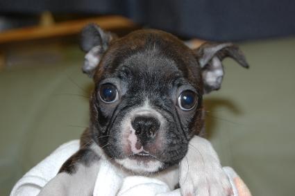 ボストンテリアの子犬の写真No.201108114