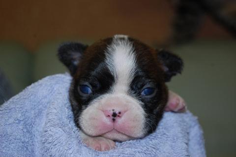 ボストンテリアの子犬の写真201204063