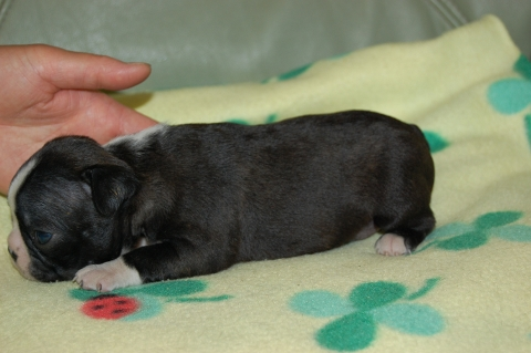 ボストンテリアの子犬の写真201204065-2