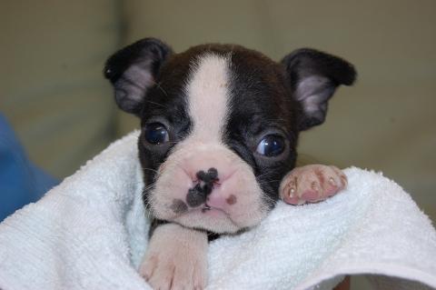 ボストンテリアの子犬の写真201204066