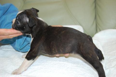 ボストンテリアの子犬の写真201204061-2