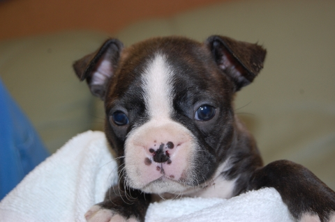 ボストンテリアの子犬の写真201204062