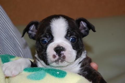 ボストンテリアの子犬の写真201204061