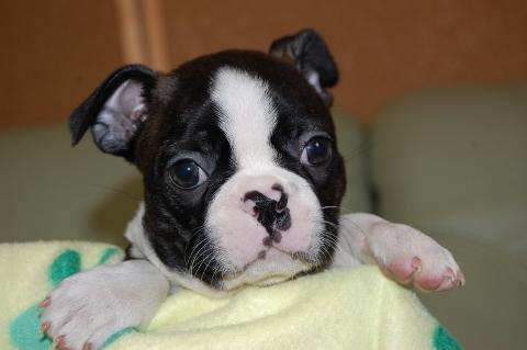 ボストンテリアの子犬の写真201204064