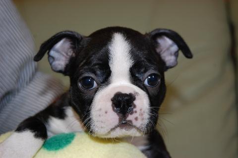 ボストンテリアの子犬の写真201204065