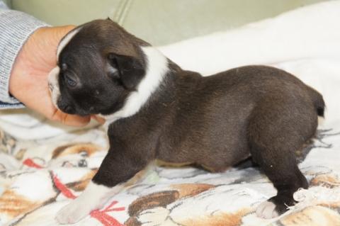 ボストンテリアの子犬の写真201210222-2