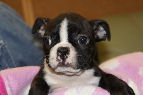 ボストンテリアの子犬の写真201210223