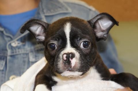 ボストンテリアの子犬の写真201210221