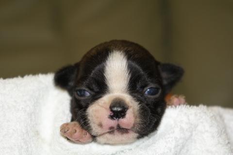 ボストンテリアの子犬の写真201302014