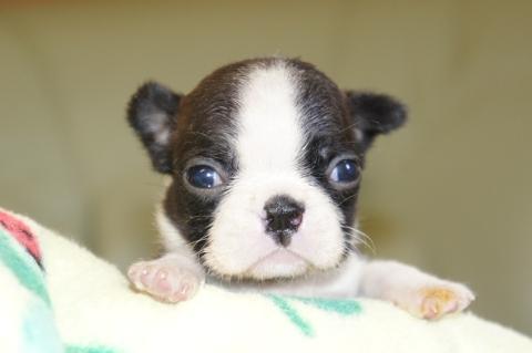 ボストンテリアの子犬の写真201302012