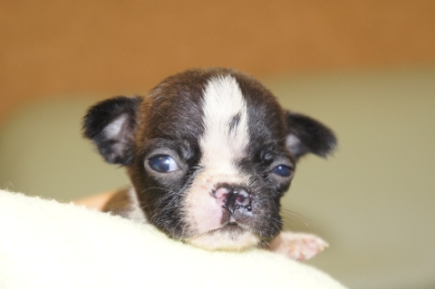 ボストンテリアの子犬の写真201302013