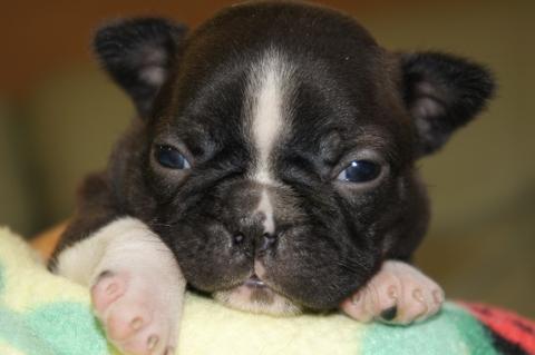 ボストンテリアの子犬の写真201302015