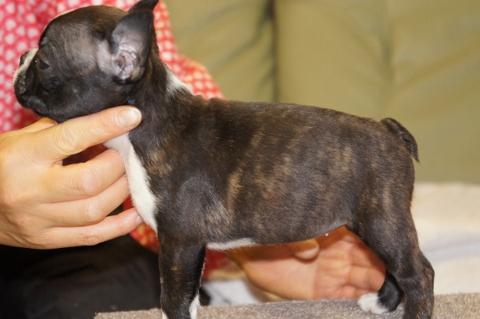 ボストンテリアの子犬の写真201302014-2