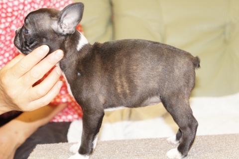 ボストンテリアの子犬の写真201302015-2