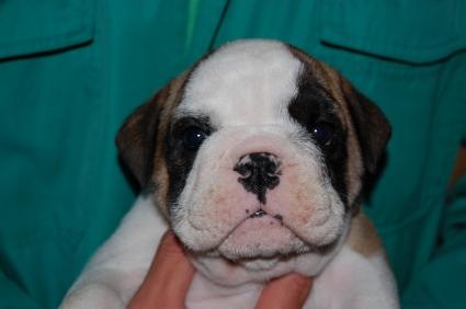 2009年2月26日産まれのブルドッグ子犬の写真