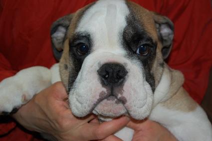 ブルドッグの子犬の写真