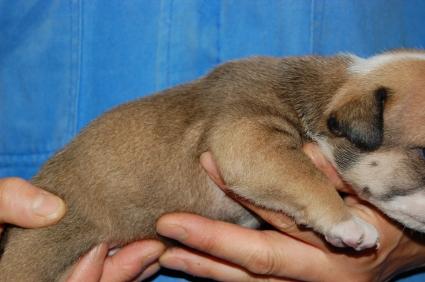 ブルドッグのメス1頭目の子犬の側面写真