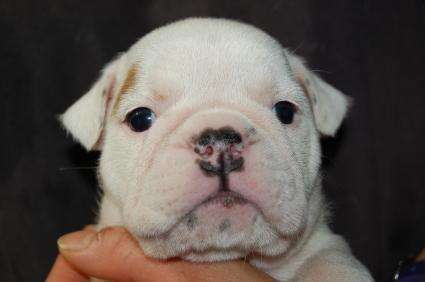 ブルドッグのメス4頭目の子犬の写真