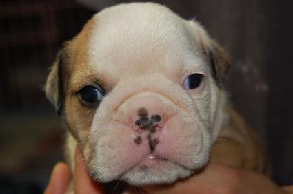 ブルドッグのオス2頭目の子犬の写真