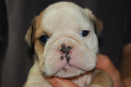 ブルドッグの子犬の写真No.200905302