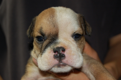 ブルドッグのメス1頭目の子犬の写真