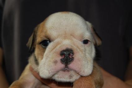 ブルドッグの子犬の写真No.200905304