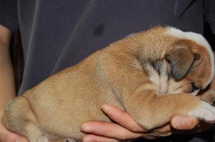 ブルドッグの子犬の写真No.200905304-2