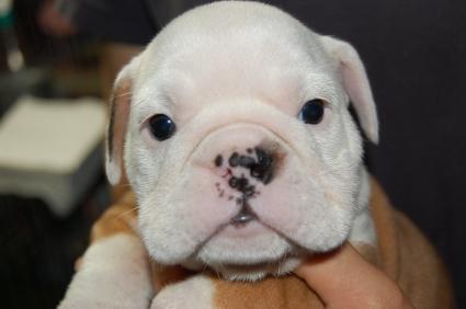 ブルドッグのメス3頭目の子犬の写真