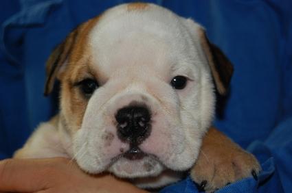ブルドッグのメス2頭目の子犬の写真
