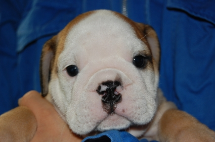 ブルドッグのオス1頭目の子犬の写真