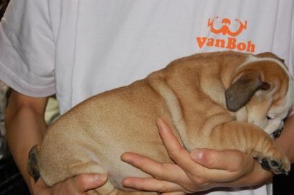 ブルドッグの子犬の写真No.200905301-2