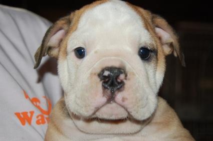 ブルドッグの子犬の写真No.200905301
