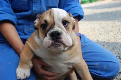 ブルドッグの子犬の写真No.200905303
