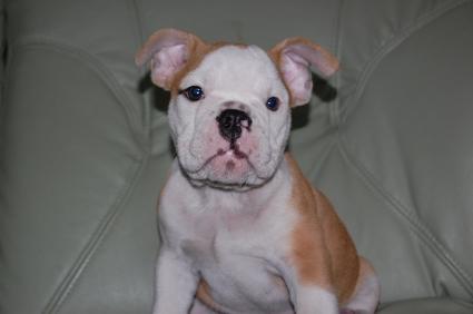 2009年7月25日産まれのブルドッグ子犬の写真