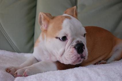 ブルドッグの子犬の写真No.200907251