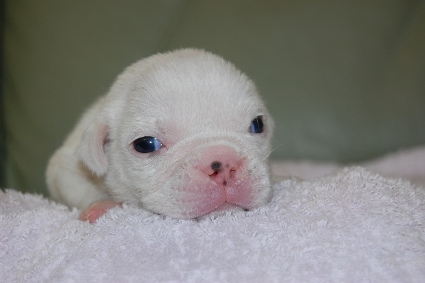 ブルドッグの子犬の写真No.200911271
