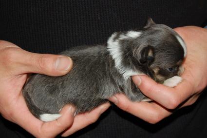 チワワの子犬の側面写真
