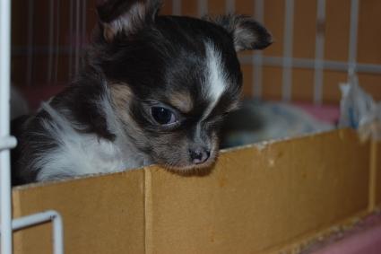 チワワの子犬の写真2