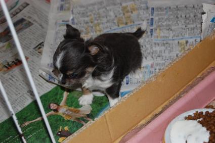 チワワの子犬の側面写真3