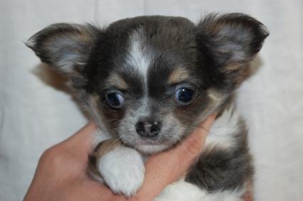 チワワの子犬の写真