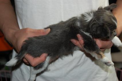 チワワの子犬の側面写真2