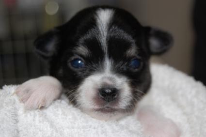 ロングコートチワワの子犬の写真No.201005133