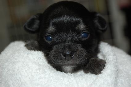 ロングコートチワワの子犬の写真No.201005135