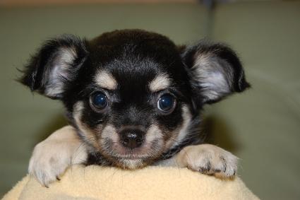 ロングコートチワワの子犬の写真No.201005132