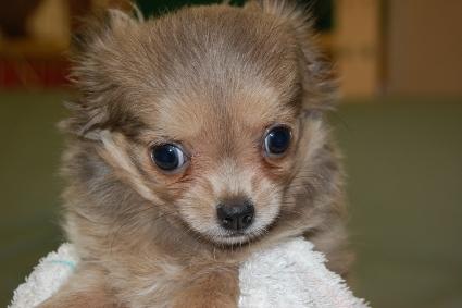 ロングコートチワワの子犬の写真No.201005251