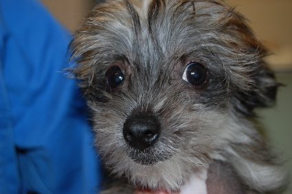 チャイニーズクレステッドドッグの子犬の写真No.200910211