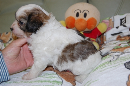 チャイニーズクレステッドドッグの子犬の写真No.201103111-2