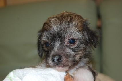 チャイニーズクレステッドドッグの子犬の写真No.201103113